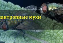 Синантропные мухи