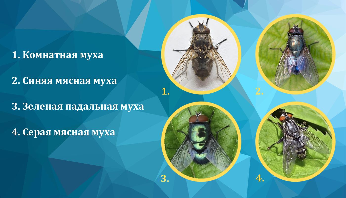 Синантропные мухи - разновидности